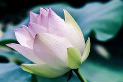 Close up of water drops on pink lotus flower Stock Photos