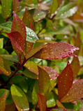Close-up of water drops on red and green leaves. Close-up of red and green leaves  of evergreen plant (Photinia fraseri Red Robin) after rain Royalty Free Stock Image