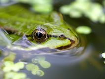 Close up of a water frog stock photography