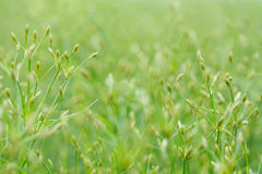 Close-up of water grass flower and blurry background. Close-up of water grass flower and green blurry background Stock Image