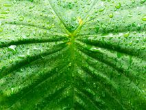 Close up water on the leaf after rain drops. Abstract background and texture of wet green leaves royalty free stock photos