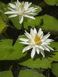 Close up of water lilies, Seychelles Stock Photography