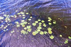Close-up of water lilies on the water surface. Wild lake in the forest with water lilies and lilies on the water royalty free stock photography