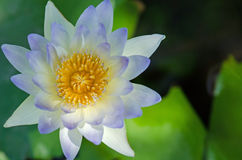 Close up of water lilly. Close up of blue water lilly or lotus Royalty Free Stock Images