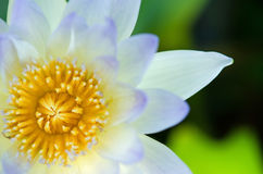 Close up of water lilly. Close up of blue water lilly or lotus Royalty Free Stock Image
