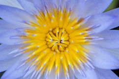 Close up of water lilly. Close up of blue water lilly or lotus Royalty Free Stock Photo