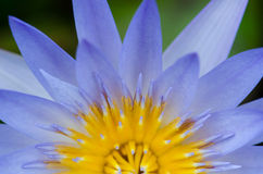Close up of water lilly. Close up of blue water lilly or lotus Stock Images