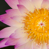 Close up of water lilly. Close up of pink water lilly or lotus Royalty Free Stock Images