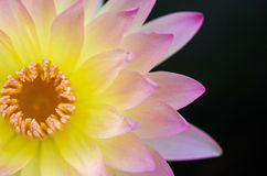Close up of water lilly. Close up of pink water lilly or lotus Stock Image