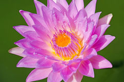 Close up of water lilly. Royalty Free Stock Photo