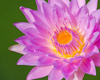 Close up of water lilly. Close up of purple water lilly or lotus Royalty Free Stock Image