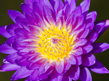 Close up of water lilly. Close up of purple water lilly or lotus Stock Image