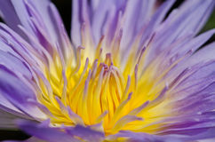 Close up of water lilly. Close up of purple water lilly or lotus Stock Photo