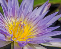 Close up of water lilly. Close up of purple water lilly or lotus Royalty Free Stock Photos