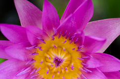 Close up of water lilly. Close up of purple water lilly or lotus Royalty Free Stock Images