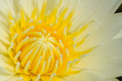 Close up of water lilly. Close up of yellow water lilly or lotus Royalty Free Stock Photo