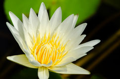 Close up of water lilly. Close up of yellow water lilly or lotus Stock Photos