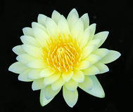 Close up of water lilly. Close up of yellow water lilly or lotus Royalty Free Stock Photography