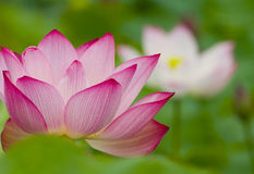 Close-up of water lily Royalty Free Stock Image
