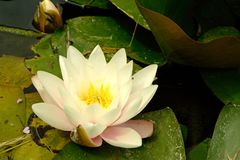 Water Lily flowering in old pond. Stock Images