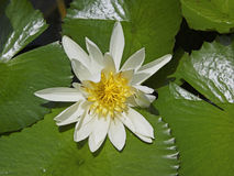 Close up of water lily, Seychelles Royalty Free Stock Image