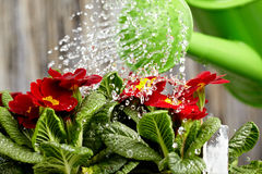 Close up on water pouring from watering can Stock Image
