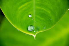 Close up water rain drop on green leaf for nature texture background Royalty Free Stock Image