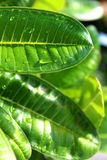 Close up waterdrops of the fresh green leaf. An ecology green frame stock photos