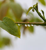 Close up of waterdrops on a plant. Picture of a close up of waterdrops on a twig stock photo