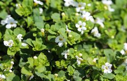 Close up of Bacopa monnieri flower, also called waterhyssop, brahmi, thyme-leafed gratiola, water hyssop, herb of grace, Indian. Close up of waterhyssop in royalty free stock photography