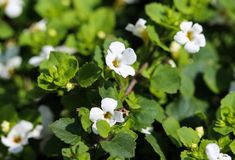 Close up of Bacopa monnieri flower, also called waterhyssop, brahmi, thyme-leafed gratiola, water hyssop, herb of grace, Indian. Close up of waterhyssop in stock images