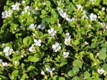 Close up of Bacopa monnieri flower, also called waterhyssop, brahmi, thyme-leafed gratiola, water hyssop, herb of grace, Indian. Close up of waterhyssop in stock photos