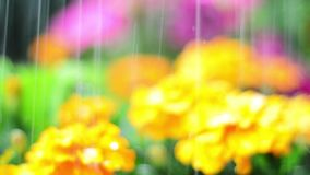 Close up of watering bright coloured flowers, soft focus for background stock video