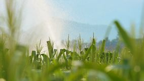 Close up watering corn field in agricultural garden by water springer stock video