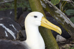 Close-up of a waved albatross sitting on a nest Stock Photos