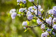 Close up of  Wavyleaf ceanothus wildflowers, California royalty free stock photography