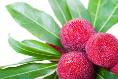 Close up of wax berry or bayberry Royalty Free Stock Images