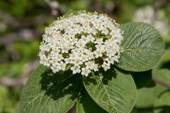 Wayfarer, also called wayfaring tree - Viburnum lantana. Close-up of a wayfarer also called wayfaring tree - Viburnum lantana stock photo