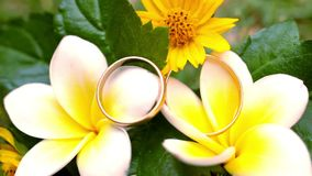 Close up wedding gold rings on the Thai flowers. Frangipani stock video
