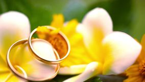 Close up wedding gold rings on the Thai flowers. Frangipani. Macro video shift motion 1920*1080 stock video