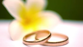 Close up wedding gold rings on the Thai flowers. Frangipani. Macro video shift motion 1920*1080 stock video footage