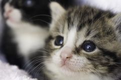 Close up of 4 weeks old kitten in the blankets. Two small 4 weeks old kittens snuggling in the blankets looking up Royalty Free Stock Images