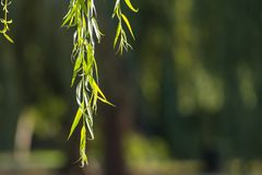 Close Up of Weeping Willow Leaves and Copy Space. To Right Stock Photo