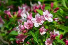 Close-up of Weigela Rosea funnel shaped pink flower, fully open and closed small flowers with green leaves. Selective focus. Small light pink flowers, weigela royalty free stock photography