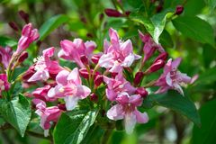 Close-up of Weigela Rosea funnel shaped pink flower, fully open and closed small flowers with green leaves. Selective focus. Small light pink flowers, weigela royalty free stock photos
