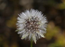 Close-up of weightless dandelion flower. White dandelion flower in close-up.Bokeh Royalty Free Stock Images