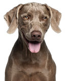 Close-up of Weimaraner Royalty Free Stock Photos