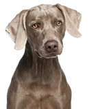 Close-up of Weimaraner Stock Images