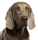 Close-up of a Weimaraner, 3 years old Stock Image