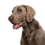 Close-up of Weimaraner in front of a white backgro royalty free stock image